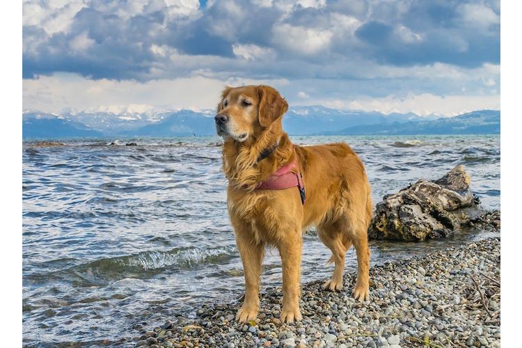 6/6... und der Golden Retriever gelten als liebe und ausgeglichene Hunde. Sie sind von der Rasse so ausgerichtet, Menschen zu beschützen – und sie wollen gefallen. Zudem sind sie loyal, freundlich und intelligent.