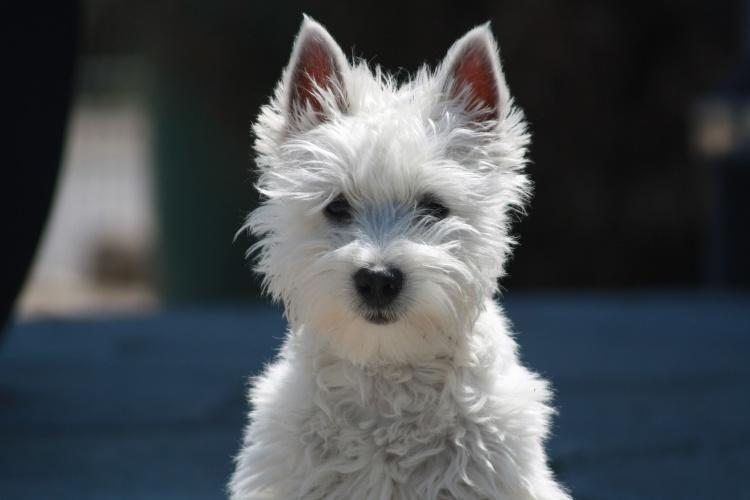 1 / 6Gut händelbar für kleine Kinder: Der West Highland White Terrier («Westie») ist ein kleiner, kräftig gebauter Terrier mit Selbstsicherheit. Der «Westie» gilt als ein ausdauernder Begleiter und als ein fröhlicher, stets zum Spielen aufgelegter Familienhund.